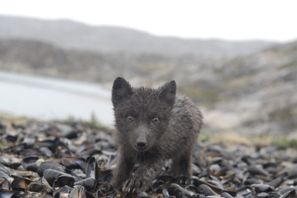 Renard polaire du Groenland