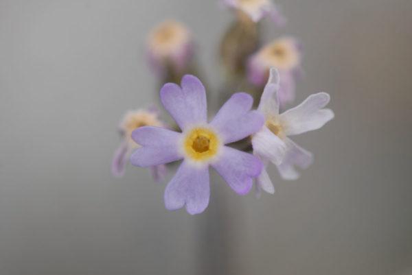 Fleur du Groenland