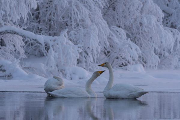 Cygnes en Laponie
