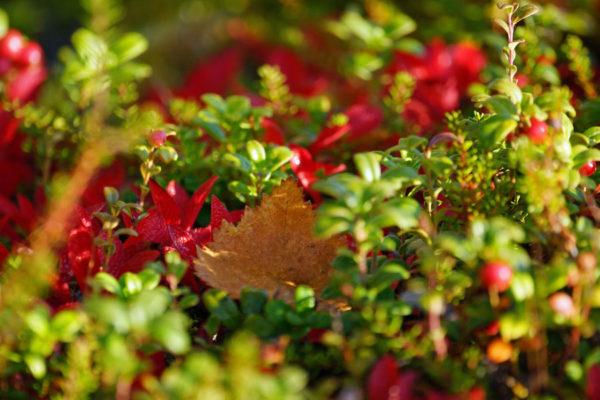 Végétation automnale en Laponie