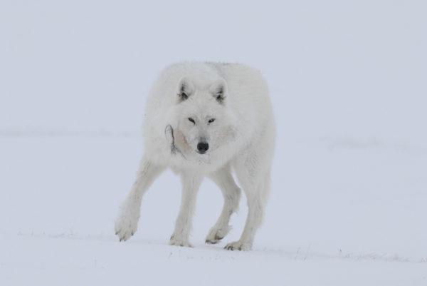 Loup arctique sur l'île de Banks