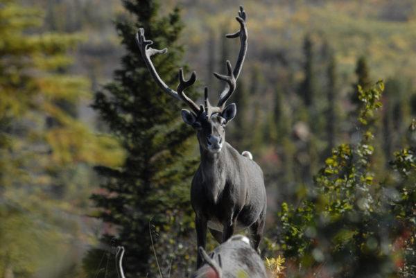 Caribous sur la rivière Porcupine