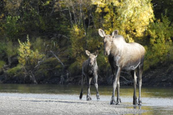 Orignal et son petit sur la rivière Porcupine