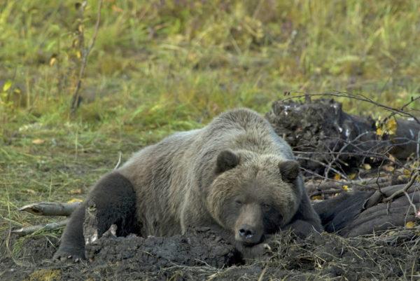 Ours sur la rivière Porcupine