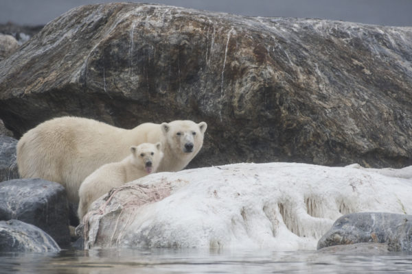 Ours polaire au Spitzberg