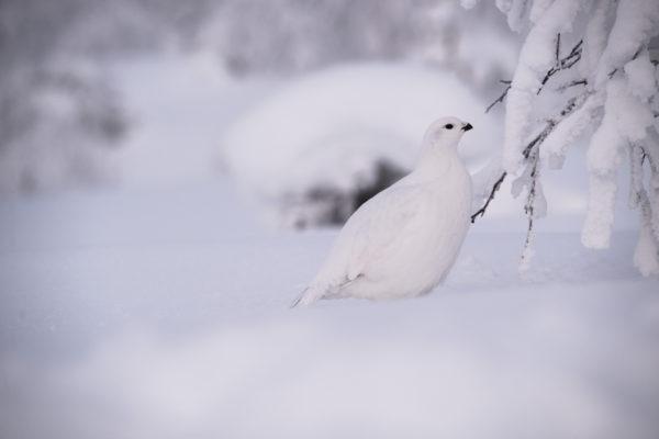 Lagopède en Laponie
