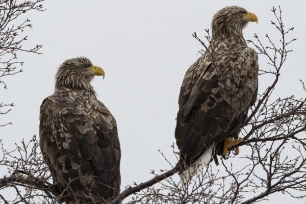 Aigles sur l'île de Senja