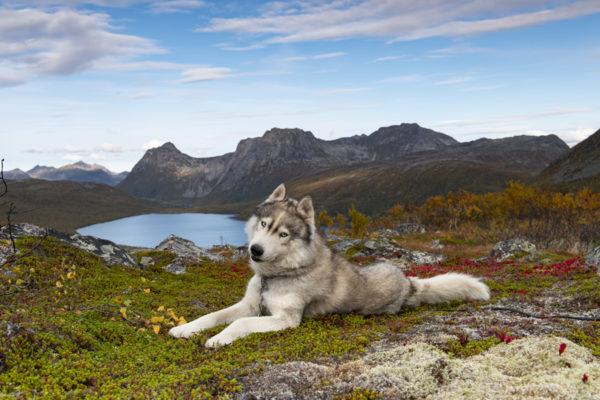 Husky sur l'île de Senja